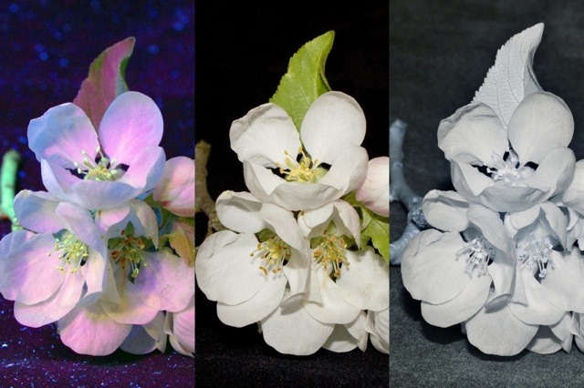 blossom UV visible IR (10,722 bytes)